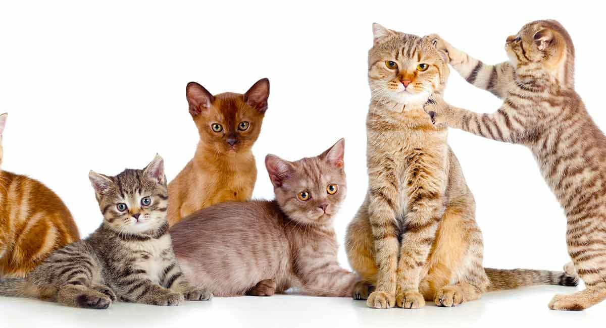 Cat Breed Guide: How Many Cat Breeds are There?